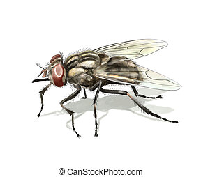 Common fly - Digital illustration of a common fly isolated