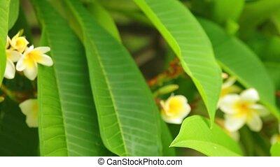 Common Frangipani Blooming Flowers