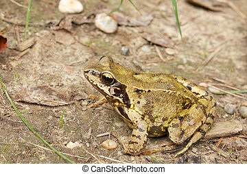 Common Frog Closeup 3