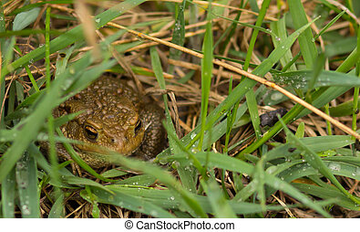 Common frog closeup on grass after rain