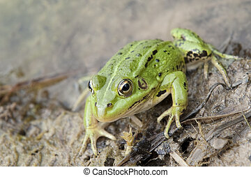 Common frog - Closeup picture of Lake Frog (Rana Ridibunda...