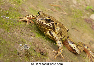 Common Frog Closeup