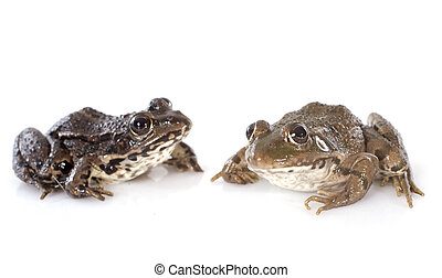 common frog in front of white background