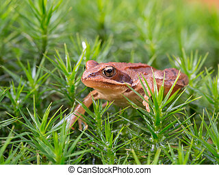 Common frog in the moss - Rana temporaria