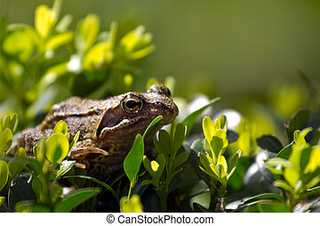 Common frog in Buxus bush hunting for insects