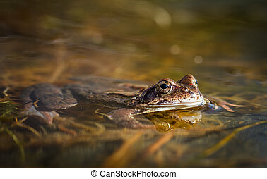 Common frog, Rana temporaria, in a garden pond in Norway. View from front. Spring time in April