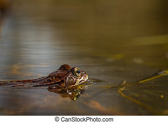 Common frog, Rana temporaria, in a garden pond in Norway. View from the side, reflection of frog in water. April, spring