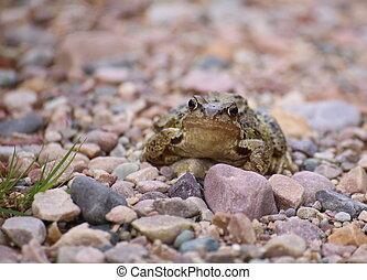 Common frog (Rana temporaria) on gravel ground
