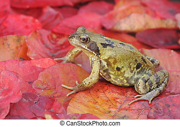 Common frog, Rana temporaria, single frog on red autumn...