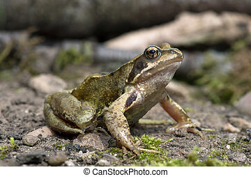 Common Frog (Rana temporaria) - Common Frog on mossy forest...