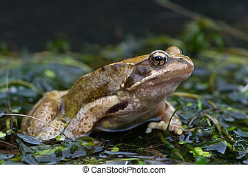 Common Frog (Rana temporaria) - Common Frog emerging from...