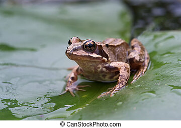 Common Frog (Rana temporaria) - Common Frog on water lily...