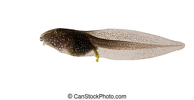 Common Frog, Rana temporaria tadpole isolated on white background