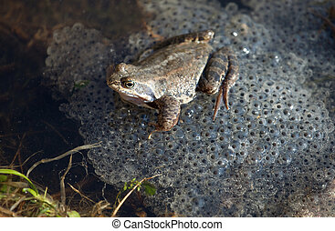 Common Frog (Rana temporaria) with eggs