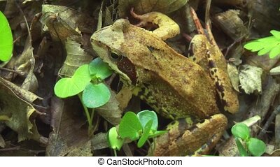 The common frog sits on the forest floor. Close-up video.