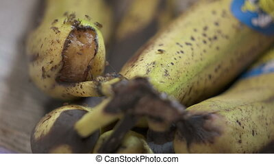 Common fruit flies on rotting banana fruit. Fruit fly...