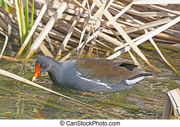 Common Gallinule in a wetland pond
