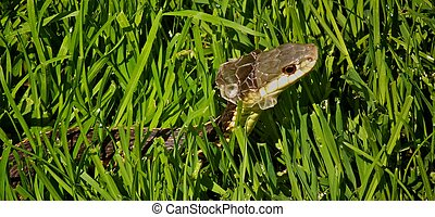 Common Garter Snake (Thamnophis sirtalis), Molting in Grass on Sunny Day