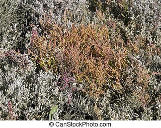 Common Glasswort (Salicornia europaea) on the Salt marsh in autu