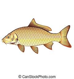 Common Golden Carp Vector Art