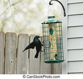 Common Grackle on bird feeder