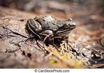 Common grass frog (Rana temporaria)