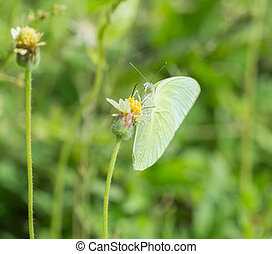 Common Grass Yellow butterfly (Eurema hecabe contubrenalis...