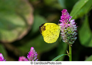Common Grass Yellow Butterfly (PIERIDAE) eating flower's...