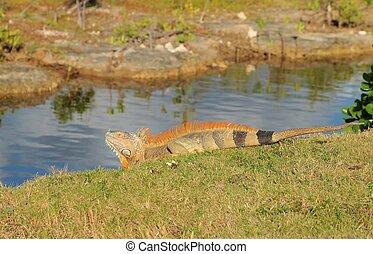 A green iguana suns itself alongside one of Grand Cayman's inland waterways