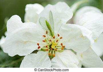 Common green lacewing on apple tree flower, beneficial predator of aphids