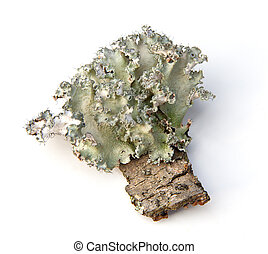 Lichen - Common Green Shield Lichen (Flavoparmelia caperata...