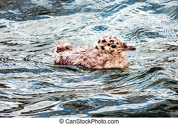 Common Gull chicks