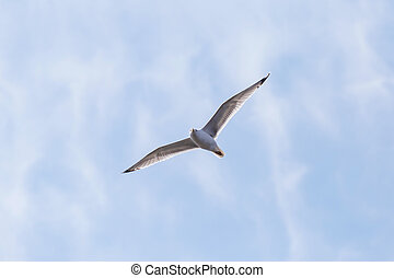 common gull flying in a sky - common gull flying in a cloudy...