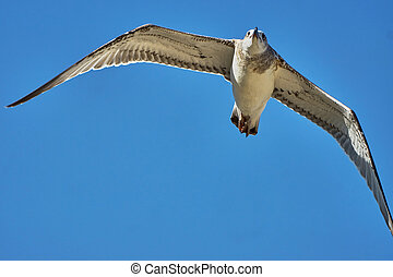 Common gull in flight against the blue sky...