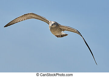 Common gull in flight against the blue sky