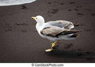 Common Gull (larus canus) juvenile on a beach in Funchal Madeira Portugal