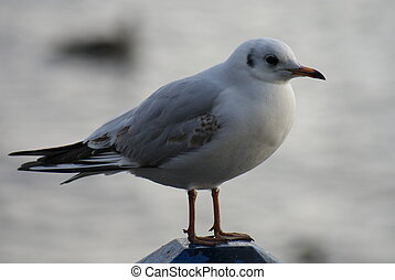 Common Gull - Larus canus