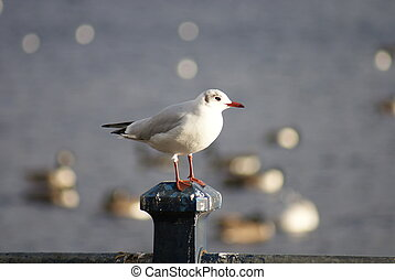Common Gull - Larus canus - Portrait image of a wild Common...