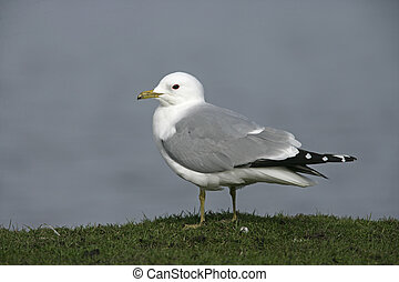 Common gull, Larus canus
