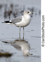 Common gull, Larus canus, single bird standing in water,...
