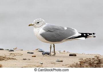 Common gull, Larus canus, single bird standing on sand,...