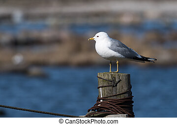 Common Gull on a wooden post - Sunlit Common Seagull, Larus...