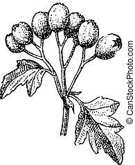 Common hawthorn or Crataegus monogyna vintage engraving - ...