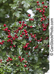 Common Hawthorn {crataegus monogyna }also known as may tree and quick thorn. The bush was photographed early Autumn in Somerset UK, and shows it in fruit, ie Haws which is the name given to the berries.