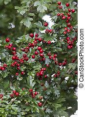 Common Hawthorn with berries - Common Hawthorn {crataegus ...