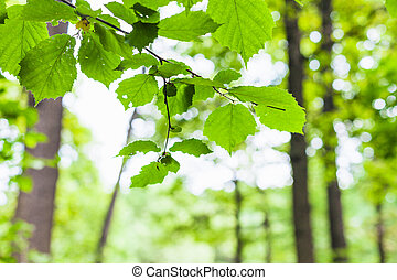 hazel twig with green leaves and blurred forest