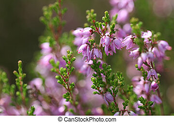 Common Heather Flowers (Calluna vulgaris) - Background of...