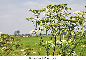 Common Hogweed in agriculture landscape