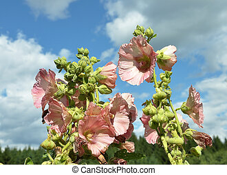 Common Hollyhock in front of sky