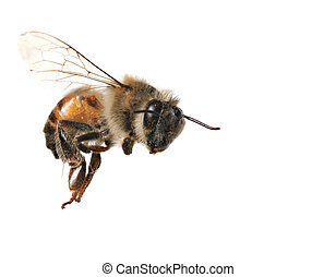 Common Honeybee on White Background - Macro Image of Common...